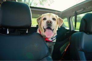 chien-siege-arriere-voiture